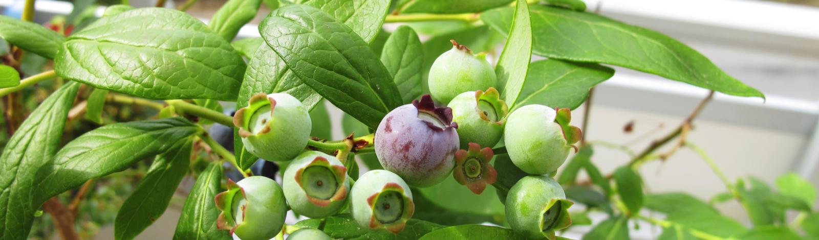 Cultivo hidropónico del arándano