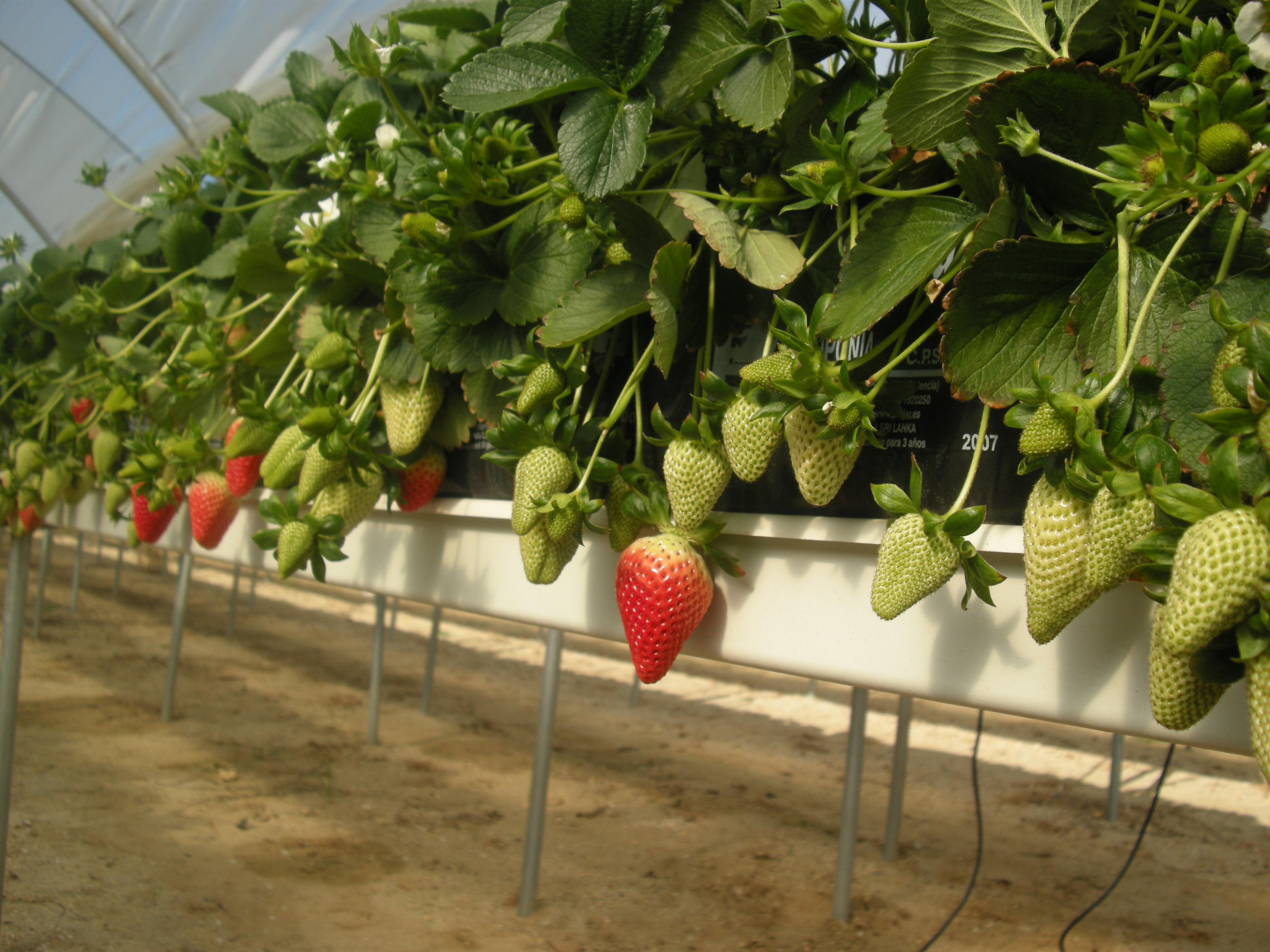 Placas De Cultivo Hidroponico Para Fresa Projar - Cultivo-hidroponicos