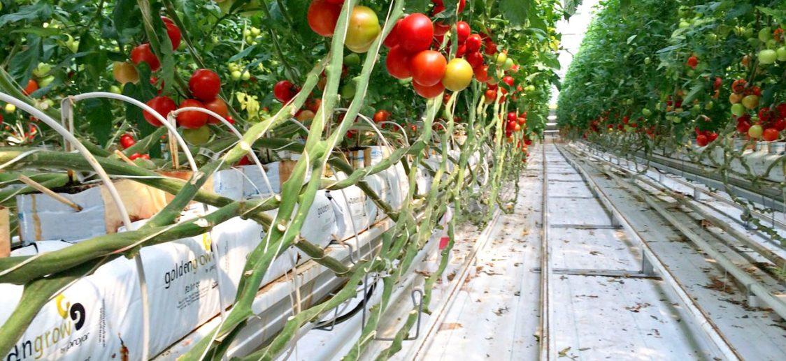 fibra de coco tomate