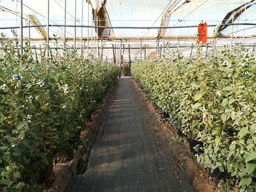 cultivo de arandano en maceta