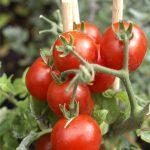 hidrogel retenedor de agua para cultivos horticolas