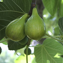 hidroponia easyfruit higo