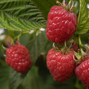 sustraberry frambuesa