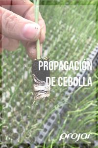 productos semillero cebolla